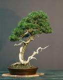 sosna bonsai zdjęcia royalty free