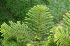 sosna bonsai Zdjęcie Royalty Free