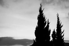 Sosna czarny i biały Fotografia Stock