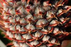 sosna jabłczana Fotografia Stock