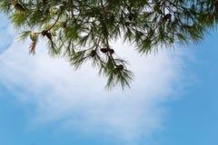 Sosna konusuje na sośnie, pinus w ogródzie Sosna rozgałęzia się na niebieskiego nieba tle Zdjęcia Stock