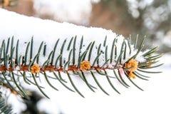 Sosna konusuje panicles zakrywających z śniegiem Obrazy Royalty Free