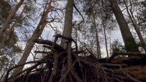 Sosna korzenie w lesie zdjęcie wideo