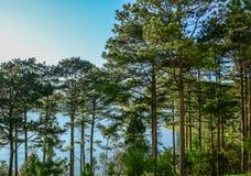 Sosna las przy wschodem słońca obrazy royalty free