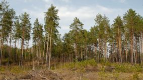 Sosna las w ranku zbiory wideo