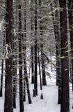 sosna lasowy śnieg Fotografia Royalty Free
