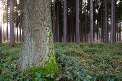 sosna leśna zdjęcie stock