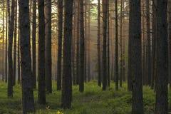 sosna leśna Obraz Royalty Free