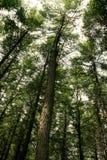 sosna leśna Obrazy Royalty Free