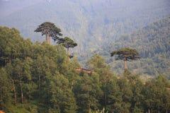 sosna leśna obrazy stock