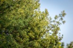 Sosna liście w korei południowej zdjęcia stock