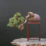 sosna mugo bonsai fotografia royalty free