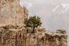 Sosna na hoodoo w śnieżycy, Bryka jar, Utah obraz stock