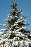 sosna śnieg Zdjęcia Royalty Free