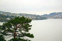 Sosna przy morzem bergen Fotografia Royalty Free