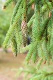 Sosna rożek w sośnie Sosna rozgałęzia się w naturze obrazy stock