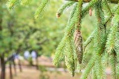 Sosna rożek w sośnie Sosna rozgałęzia się w naturze zdjęcia stock