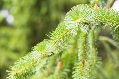 Sosna rożek w sośnie Sosna rozgałęzia się w naturze zdjęcie royalty free