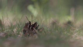 Sosna rożek kłama w trawie zbiory