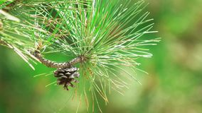 Sosna rożek na drzewie zbiory