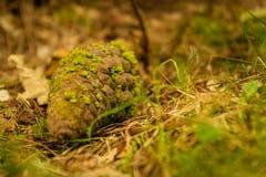 Sosna rożek na ziemi z zielonym mech nad nim fotografia royalty free