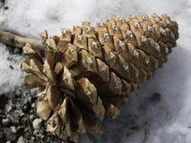 Sosna rożek w śniegu Obraz Royalty Free