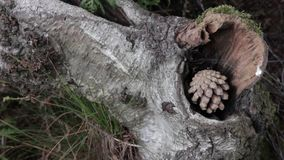 Sosna rożek w Cannock pościg lesie, UK zbiory wideo