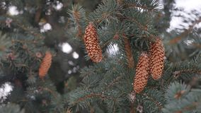 Sosna rożek w drzewnej choinki zimy krajobrazu naturze zdjęcie wideo