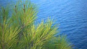 Sosna rożka morze i liście zbiory