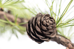 Sosna rożki na gałąź conifer drzewo Zdjęcia Stock