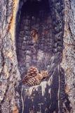 Sosna rożki w burnt drzewnym wydrążeniu zdjęcia stock