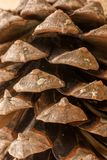 Sosna rożek sosna Zdjęcie Stock