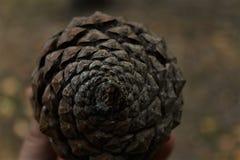 Sosna rożka spirala Zdjęcie Royalty Free
