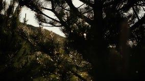 Sosna rozgałęzia się drżenie w wiatrze po deszczu w słonecznym dniu Prześwietna lasowa scena z migotać krople i błyskać zbiory wideo