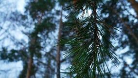 Sosna rozgałęzia się drzewa w zima lesie w górę obrazy royalty free
