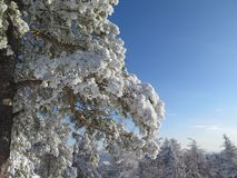 Sosna rozgałęzia się w śniegu, zimy zbliżenia sceniczna fotografia zdjęcie royalty free