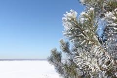 Sosna rozgałęzia się w hoarfrost przeciw tłu śnieg Obrazy Royalty Free