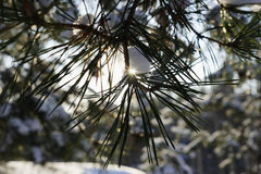 Sosna rozgałęzia się w zima lasu zakończeniu Słońce przerwy przez sosnowych igieł Zimy tła bokeh obraz royalty free
