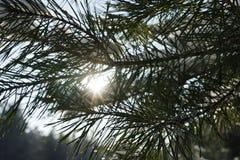Sosna rozgałęzia się w zimy zimy tła lasowym bokeh Słońce przerwy przez sosnowych igieł Zimy tła bokeh clo zdjęcie stock