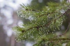 Sosna rozgałęzia się z raindrops Zdjęcia Royalty Free