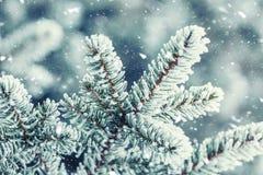 Sosna rozgałęzia się zakrywającego mróz w śnieżnej atmosferze Obraz Royalty Free