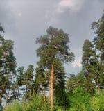 Sosna w cloudle lesie Zdjęcie Stock