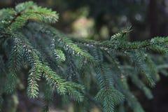 Sosna w lasowej zieleni gałąź obraz stock