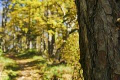 Sosna w lasowym jesieni tle Zdjęcia Royalty Free