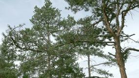 Sosna w lesie zbiory