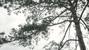 Sosna w lesie zdjęcie wideo