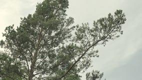 Sosna w lesie zbiory wideo