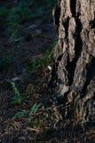 Sosna w lesie Obraz Stock