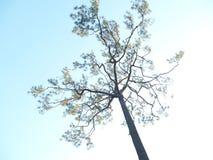 sosna w phukradueng narodu parku obrazy royalty free