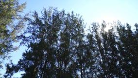 Sosna z światłem słonecznym zdjęcie wideo